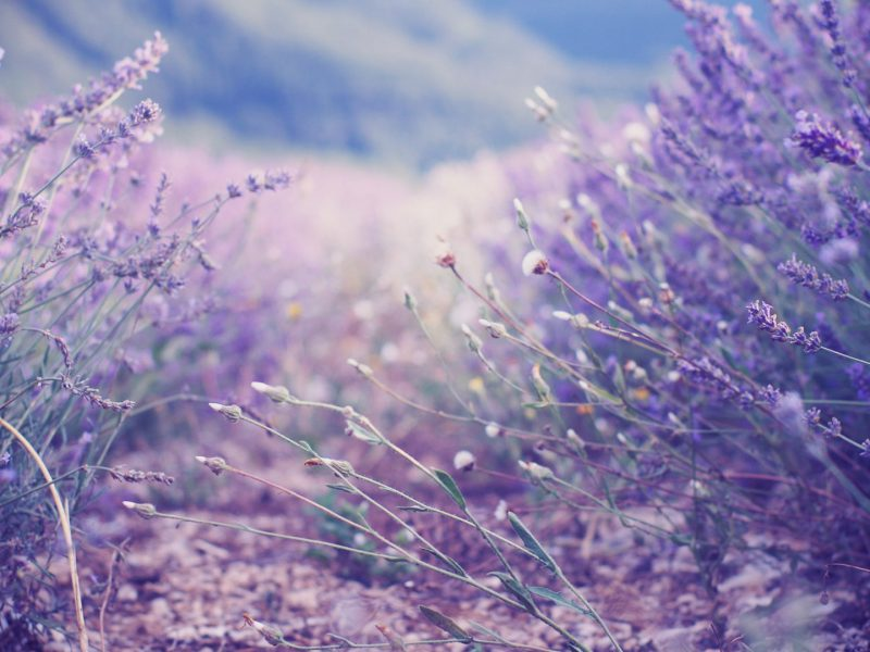 essenital lavender oils